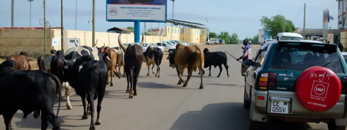 In Juba, cattle herding is not uncommon.