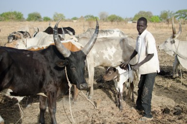 "Most young men in rural areas are expected to watch their father's cows in large ""cattle camps."" They are often the victims of violent cattle rustling."